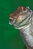 Look Reptile, Lizard Interested by Camera Fotografie-Druck von Pere Soler