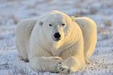 Polar Bear Fotografisk tryk af  AndreAnita