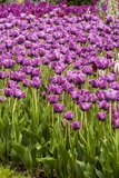 Bed of Purple Tulip Flowers Photographic Print by Richard T. Nowitz