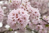 Close-Up of Cherry Blossoms Fotografie-Druck von Richard T. Nowitz