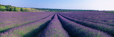 Lavender Field, Provence-Alpes-Cote D'Azur, France Photographic Print by  Panoramic Images