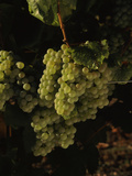 Chardonnay Grapes in Vineyard, Carneros Region, California, USA Lámina fotográfica