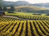 Vineyard at Domaine Carneros Winery, Sonoma Valley, California, USA Lámina fotográfica prémium
