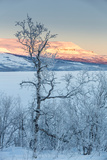 Trees in the Frozen Landscape, Cold Temperatures as Low as -47 Celsius, Lapland, Sweden Fotografisk tryk af Green Light Collection