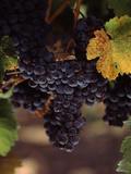 Cabernet Sauvignon Grapes in Vineyard, Wine Country, California, USA Lámina fotográfica