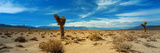 Joshua Tree in a Desert, Mojave Desert, California, USA Photographic Print by  Panoramic Images
