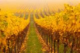 Vine Crop in a Vineyard, Riquewihr, Alsace, France Lámina fotográfica