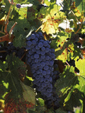 Cabernet Sauvignon Grapes in Vineyard, Wine Country, California, USA Reproduction photographique