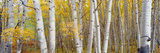 Aspen Trees in a Forest, Colorado, USA Photographic Print