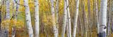 Aspen Trees in a Forest, Colorado, USA Valokuvavedos