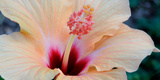 Close-Up of a Hibiscus Flower, Pinole, California, USA Stampa fotografica
