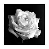 Rose blanche Affiches par Alaya Gadeh