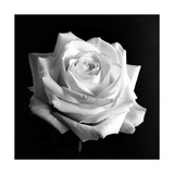 Weiße Rose Poster von Alaya Gadeh