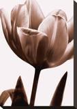 Tulip in Sepia I Opspændt lærredstryk af Caroline Kelly