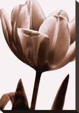Tulip in Sepia I Stretched Canvas Print by Caroline Kelly
