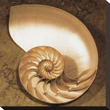 Chambered Nautilus Stretched Canvas Print by Caroline Kelly