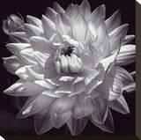 White Dahlia II Stretched Canvas Print by Caroline Kelly