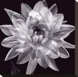 White Dahlia I Stretched Canvas Print by Caroline Kelly