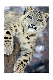 Snow Leopard Kunst von  Lantern Press