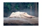 Albino Alligator Posters by  Lantern Press