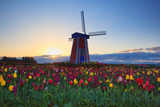 Tulip Field and Windmill Poster by  Lantern Press