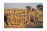 Meerkats Lined Up Poster af  Lantern Press