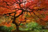 Japanese Maple Lámina giclée prémium por  Lantern Press