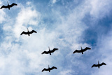 Pelicans Flying over Beach Photo Poster Print Posters