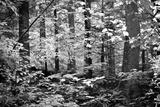 Appalachian Trail Massachusetts Forest Black White Photo Poster Pósters