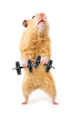 Hamster With Bar Isolated On White Poster af  IgorKovalchuk