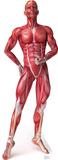 Anatomy Muscle System Lifesize Standup Cardboard Cutouts