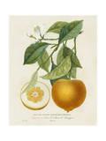 French Orange Botanical I Poster van A. Risso