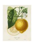 French Lemon Botanical I Print van A. Risso
