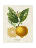 French Lemon Botanical III Plakater af A. Risso