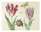 Two Tulips, a Shell, a Butterfly and a Dragonfly, c. 1637-1645 Art by Jacob Marrel