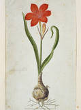 Amaryllis, 1777 Print by Robert Jacob Gordon