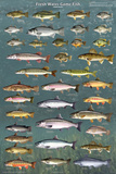 Fresh Water Game Fish Poster