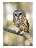 Northern Saw Whet Owl Schilderij
