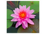 Beautiful Pink Lotus Flower Arte