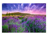 Lavender Field Tihany Hungary Posters