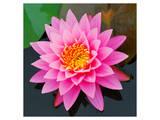 Pink Lotus Flower in Pond Poster