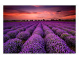 Lavender Field Sunset Provence Stampa