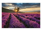 Lavender Field & Tree Sunrise Art