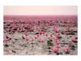Red Lotus Udornthani Thailand Prints