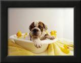 Bulldog Puppy in Miniature Bathtub Framed Photographic Print by Larry Williams