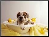 Bulldog Puppy in Miniature Bathtub Mounted Photo by Larry Williams