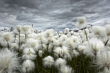 Iceland , Landmannlaugar, Flowering of Cottongrass and the Iceland Sky, Leaden and Exciting. Fotografie-Druck von Luciano Gaudenzio