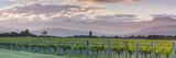 Picturesque Vineyard Illuminated at Sunset, Blenheim, Marlborough, South Island, New Zealand Photographic Print by Doug Pearson