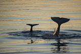 Killer Whales, or Orcas Diving in Frederick Sound, Inside Passage, Alaska Fotografisk trykk av Michael Melford