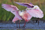 Roseate Spoonbills, Platalea Ajaja, Landing on Lake Corpus Christi Reproduction photographique par Karine Aigner